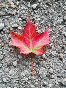 A bright red leaf on the stony grey ground.