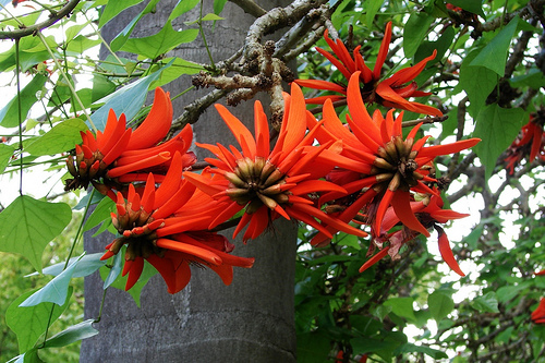 Coral tree flowers // by Tatters